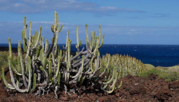 Kakteen und blaues Meer bei Güimar auf Teneriffa