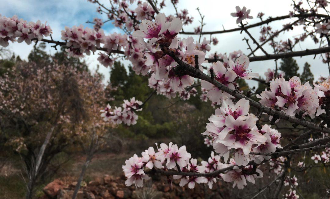 Mandelblüten auf Teneriffa