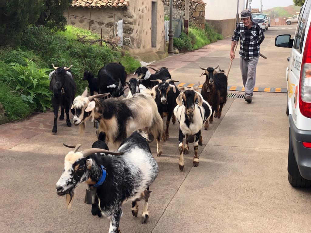 Ziegen im Teno Gebirge