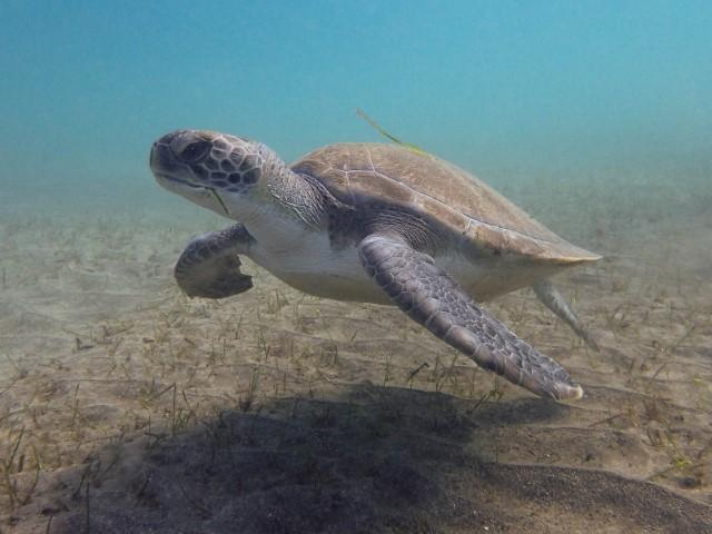 Schildkröte Teneriffa